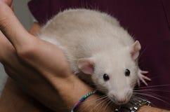 Sostener una rata apacible en manos Imagenes de archivo