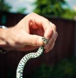 Sostener una serpiente de hierba Imagen de archivo