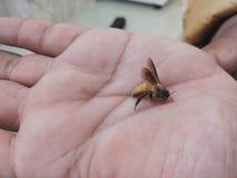 Sosteniendo una abeja en manos fotografía de archivo