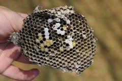 Sota från redet av getingar Förstörd bålgetings rede Arkivbilder