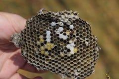 Sota från redet av getingar Förstörd bålgetings rede Royaltyfria Foton