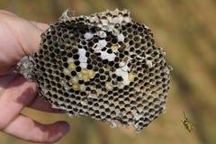 Sota från redet av getingar Förstörd bålgetings rede Royaltyfri Bild