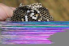 Sota från redet av getingar Förstört rede för bålgeting` s Royaltyfri Foto