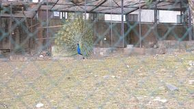 Sotchi, Maart 2018 arboretum Mooie Dansende Pauw vogelhuis met pauwen in het seizoen van het koppelen van vogels peacocks stock video