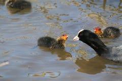 Sothöna (Fulicaatra), vuxen människa i vattnet, med två fågelungar Royaltyfri Bild