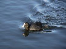Sothöna på vattnet Royaltyfria Foton
