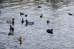 Sothönor och änder på en flod Royaltyfri Foto