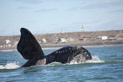 Southern Right Whale stock photography