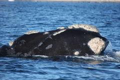 Southern Right Whale Stock Images