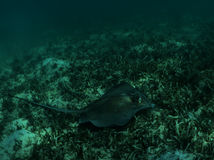 Sothern Stingray Royalty Free Stock Photos