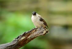 Sotig-hövdad Bulbul (Pycnonotus aurigaster) Arkivfoton