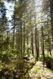 Soto de los árboles de pino jovenes en una plantación Foto de archivo libre de regalías