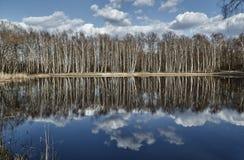 Soto del abedul blanco reflejado en el lago Fotos de archivo libres de regalías