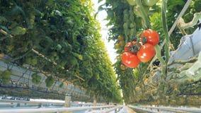 Soto del tomate con varios racimos en él de una visión ascendente almacen de metraje de vídeo