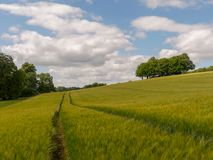 Soto hermoso de árboles en el campo de la cebada, Latimer, Buckinghamshire imágenes de archivo libres de regalías