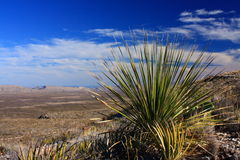 Sotol cactus in texas desert. Desert landscape featuring cactus and far hills, big bend region of west Texas royalty free stock photo