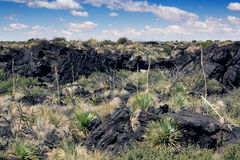 Sotol with flower stalks, growing in gaps in a lava ridge.  Vall Royalty Free Stock Images