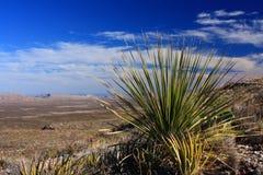 Sotol Kaktus in der Texas-Wüste Lizenzfreies Stockfoto