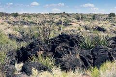 Sotol med blommastjälk som växer i mellanrum i en lavakant Vall Arkivfoton