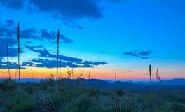 Sotols in Sunset, Big Bend National Park. Sotol plants at sunset. Picture taken at Sotol Vista overlook, Big Bend National Park stock image