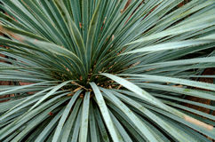 Sotol Tree. A detail of the fronds of a Sotol tree (Dasylirion wheeleri Stock Photos