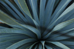 Sotol van de succulente speculant stock foto