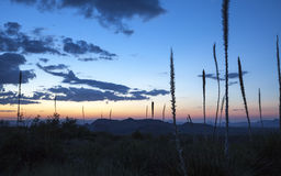Sotols in Sunset. Sotol plants at sunset. Picture taken at Sotol Vista overlook, Big Bend National Park Stock Photography