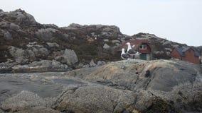 Sotra - Norwegen, Waschbären und ihr uneingeladener Gast, lizenzfreie stockfotos