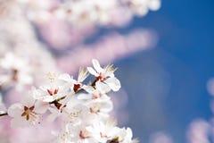 Sotto i fiori di ciliegia del cielo blu Fotografie Stock Libere da Diritti