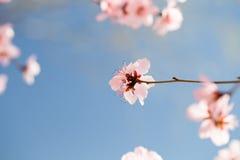 Sotto i fiori di ciliegia del cielo blu Fotografie Stock