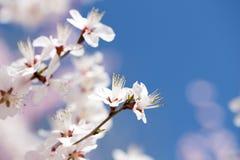 Sotto i fiori di ciliegia del cielo blu Fotografia Stock Libera da Diritti