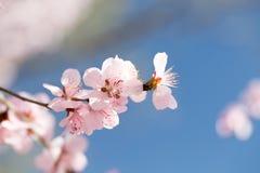 Sotto i fiori di ciliegia del cielo blu Immagini Stock Libere da Diritti