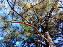Sotto il bei pino e cielo blu immagine stock libera da diritti