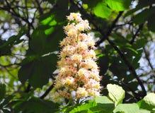 Sotto il sole ha fiorito la castagna Fotografia Stock Libera da Diritti