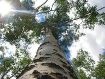 Sotto l'albero pieno di sole dell'Aspen Immagini Stock