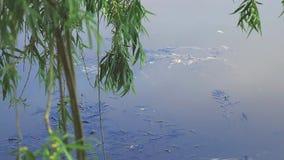 Sotto la tonalità dell'albero di salice piangente dal lago stock footage