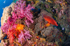 Sotto le barriere coralline del pesce variopinto del mare immagine stock