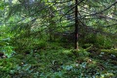 Sotto un pino nella foresta Immagini Stock