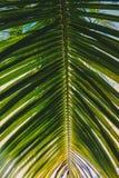 Sotto una foglia della noce di cocco Fotografia Stock