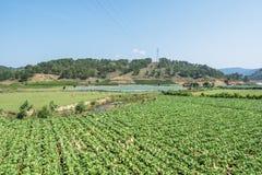 Sottospecie di brassica rapa pekinensis, azienda agricola di verdure del campo Fotografie Stock Libere da Diritti
