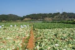 Sottospecie di brassica rapa pekinensis, azienda agricola di verdure del campo Fotografia Stock