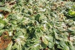 Sottospecie di brassica rapa pekinensis, azienda agricola di verdure del campo Fotografia Stock Libera da Diritti