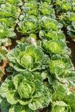 Sottospecie di brassica rapa pekinensis, azienda agricola di verdure del campo Immagine Stock
