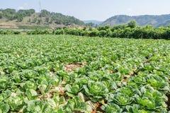 Sottospecie di brassica rapa pekinensis, azienda agricola di verdure del campo Immagini Stock Libere da Diritti