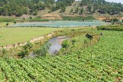 Sottospecie di brassica rapa pekinensis, azienda agricola di verdure del campo Fotografie Stock
