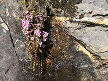 Sottospecie di oppositifolia della sassifraga Oppositifolia immagini stock