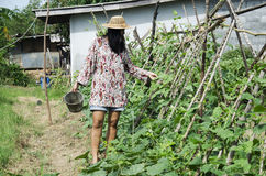 Sottospecie tailandese di vigna unguiculata di agricoltura del raccolto delle donne sesquipe Fotografia Stock Libera da Diritti