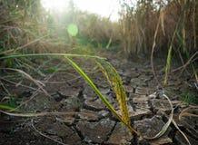 Sottragga la pianta di riso nel suolo incrinato Immagini Stock