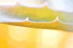 sottragga la priorità bassa Aloe giallo Vera della foglia Fotografie Stock