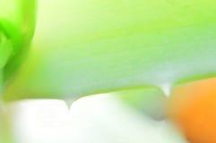 sottragga la priorità bassa Aloe giallo verde Vera della foglia Immagini Stock Libere da Diritti